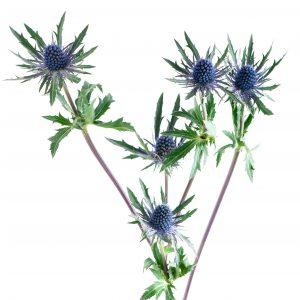 eryngium, modrý bodliak do vázy