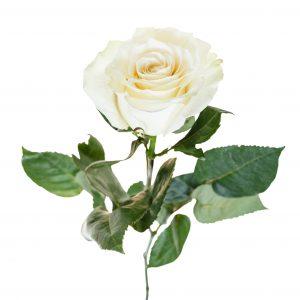 biel ruža, rezaný kvet