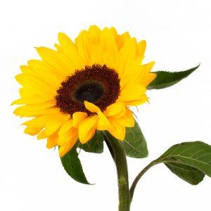 helianthus, slnečnica, rezaný kvet