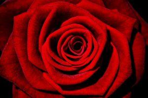 bordová rozkvitnutá ruža, symbol lásky