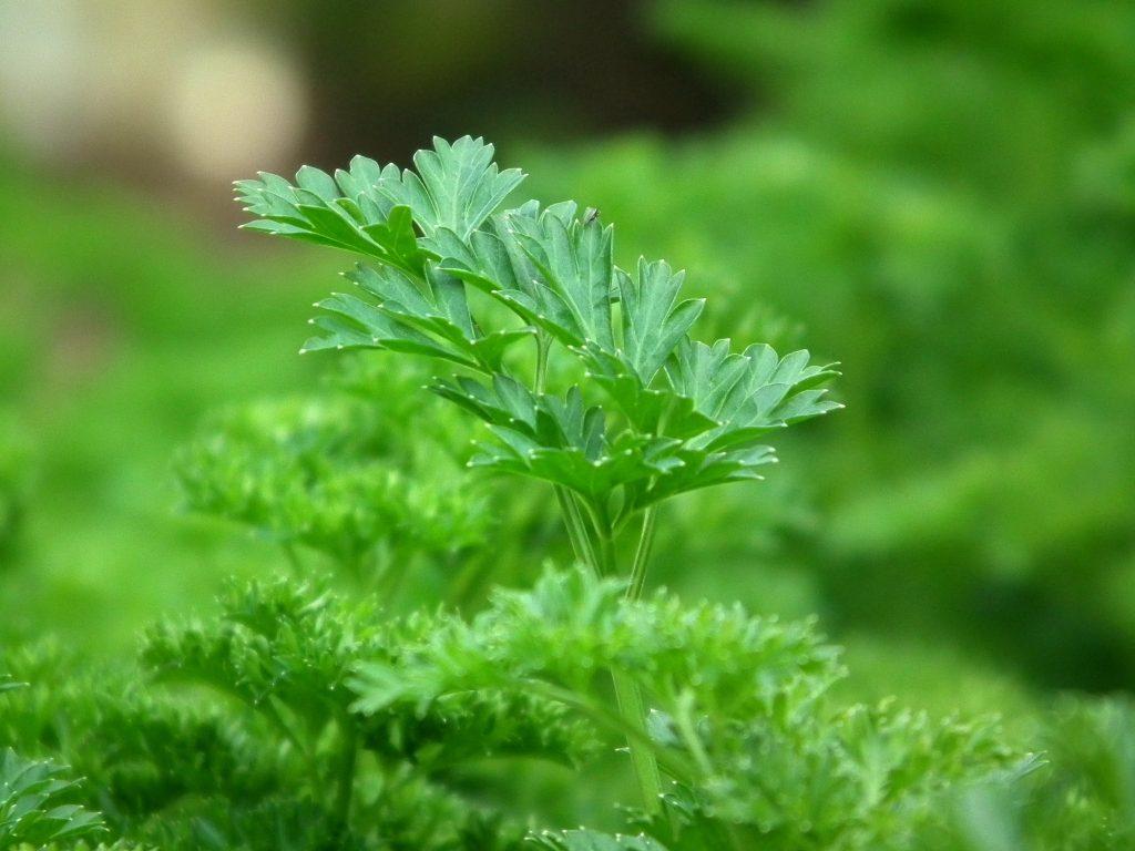 petržlen, zahrada v byte, bylinky