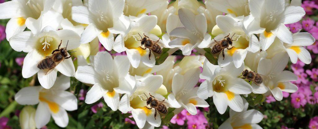 biele kvety,rozkvitnutá frézia a včely na kvietkoch