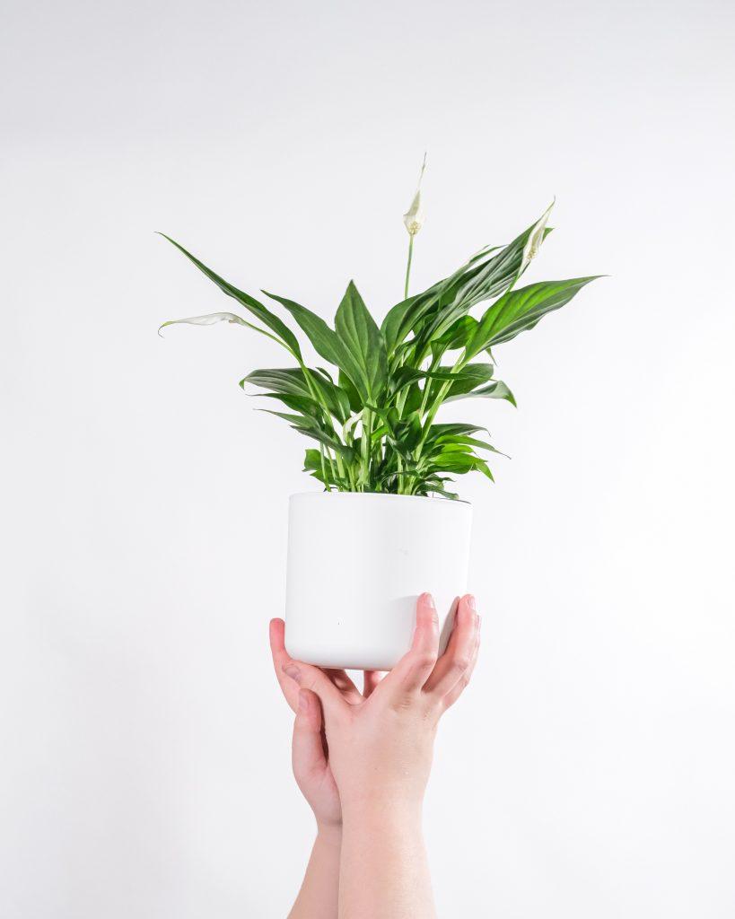 lopatkovec izbové rastliny