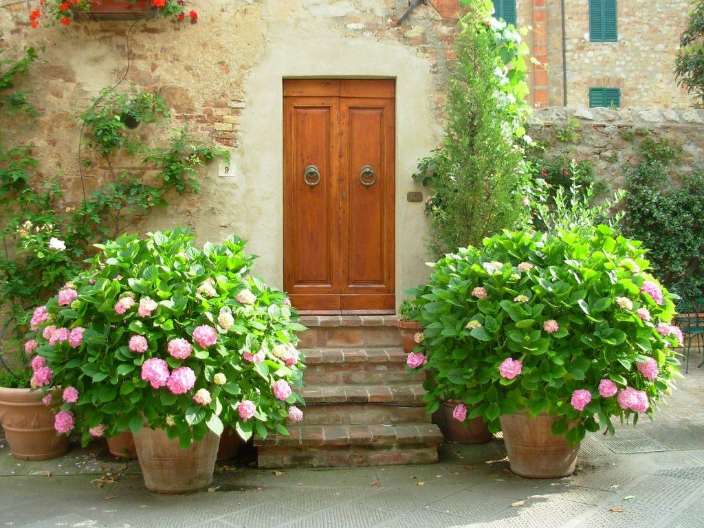hortenzia pri dverach v kvetinacoch