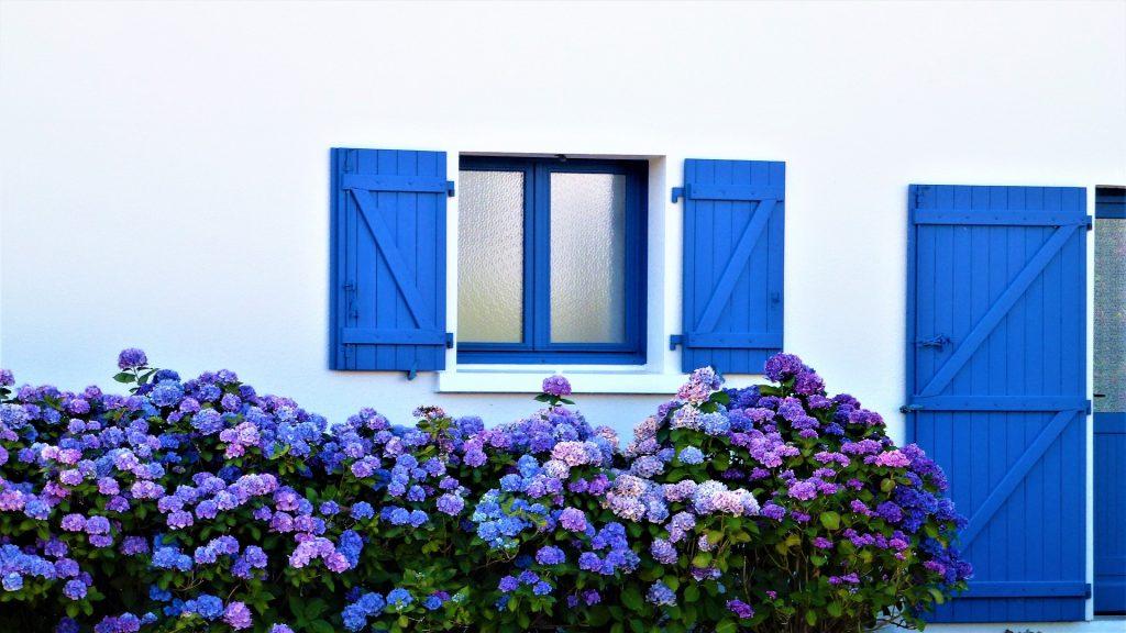 modra hortenzia pri bielom dome s mordrymi okenicami