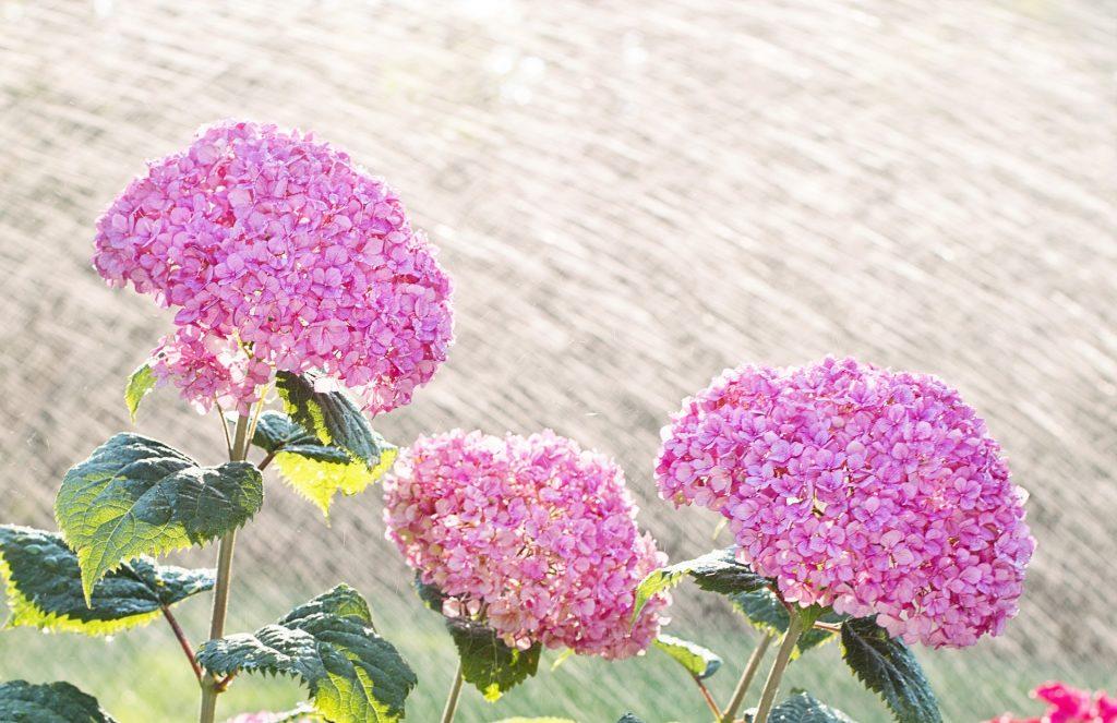 hortenzia ruzova polievanie