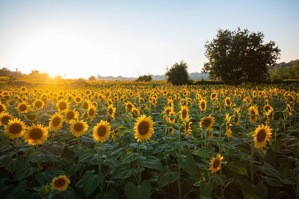rozkvitnuté slnečnice na poliach